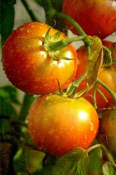 Tomates - morning Dew - ♥ JS