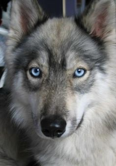 Husky/Wolf Hybrid! Absolutely hands down gorgeous