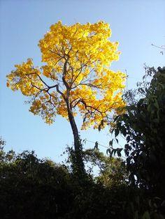O sol ilumina um ipê amarelo já resplandecente com suas flores amarelas, na Fazenda Cachoeira do Roncador, em Nova Maringá, Mato Grosso, Brasil.  Fotografia: Tereza Valim.