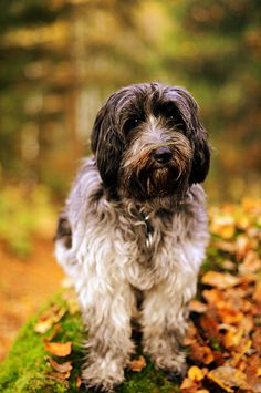 schapendoes dog photo | Recent Photos The Commons Getty Collection Galleries World Map App ...