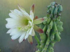 Cereus repandus f. monstrosa – Monstrose Apple Cactus  See its profile and more photos here ◢ http://www.worldofsucculents.com/cereus-repandus-f-monstrosa-monstrose-apple-cactus/