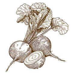 Engraving beet sketch vector by Andrii_Oliinyk on VectorStock®
