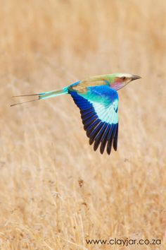 Lilac Breasted Roller - Cape Town Photographers | Clay Jar Photography