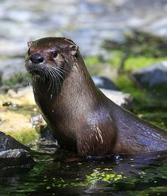 River otter spotted in colorado for the first time in 100 years Baby Animals, Cute Animals, Otter Love, River Otter, Living Water, All Gods Creatures, My Spirit Animal, The Real World, Otters