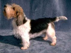 Petit Basset Griffon Vendeen are dogs have a tousled appearance, with a harsh… Grand Basset Griffon Vendeen, Griffon Dog, Love My Dog, Huge Dogs, Irish Wolfhound, Cute Animal Pictures, Animal Photography, Dogs And Puppies, Doggies