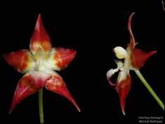 Huntleya meleagris - Flickr - Photo Sharing!