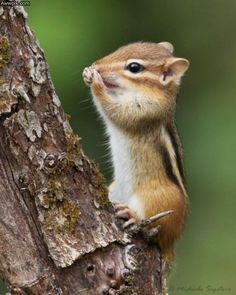 This one is actually pretty funny because whoever pinned this before me labeled this tiny critter as a squirrel.  Now correct me if I'm wrong but this looks like a chipmunk to me. So cute