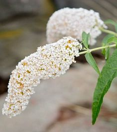 Buddleja davidii 'White Profusion' (Butterfly Bush) Hydrangea Macrophylla, Types Of Soil, Types Of Plants, Buddleja Davidii, Clematis Montana, Planting Shrubs, Foundation Planting
