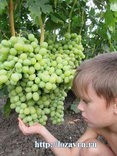 Благовест - стр. 2 - сорта винограда на Б - ВИНОГРАДНАЯ ЛОЗА