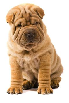 Refined and dignified. | The Most Scrumptiously Wrinkly Dogs On The Internet