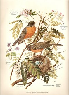 A pair of robins and their eggs and nest on the branch of a locust tree. Also a violet, and apple and mountain laurel blossoms. Painted by Arthur Singer. (Go to the blog page to access a larger size of this picture.)
