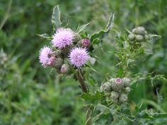 Thistle_with_cuckoo_spit.jpeg (2288×1712)