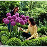 BALDUR-Garten Ziergras 'Red Baron' Japanisches Blutgras Flammengras, 3 Pflanzen Imperata cylindrica: Amazon.de: Garten
