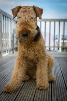 Fuzzy Wuzzy Airedale Terrier