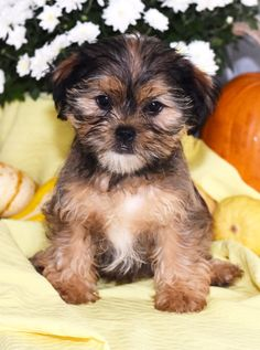 Lancaster Puppies makes it easy to find healthy puppies from reputable dog breeders across Pennsylvania, Ohio, and more. Shorkie Puppies For Sale, Lancaster Puppies, Yorkshire Terrier Puppies, Goldendoodle, Cute Baby Animals, Cute Babies, Pretty, Dogs, Pet Dogs