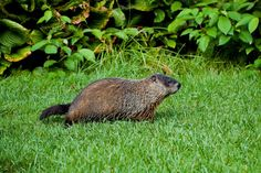 How to Get Rid Of Groundhogs In Your Backyard . How to Get Rid Of Groundhogs In Your Backyard . Here are A Few Tips On Ting Rid Of Groundhogs and Groundhog Repellant, Get Rid Of Groundhogs, Organic Gardening, Gardening Tips, Container Gardening, Dog Pee, Types Of Animals, Garden Boxes, Garden Ideas