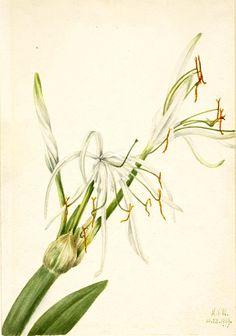 Spider Lily (Hymenocallis rotata) by Mary Vaux Walcott / American Art