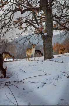 kozan.gr: Υπέροχες φωτογραφίες, με τα πανέμορφα ζαρκάδια, στο χιονισμένο πάρκο του Άγιου Παντελεήμονα, στο χωριό Άγιος Δημήτριος Κοζάνης | Καθημερινή ενημέρωση για την Kοζάνη από το 2001 -- Κοζάνης Κοζανη kozani kozanh kozanhs KOZANI Πτολεμαίδα ΠΤΟΛΕΜΑΙΔΑ Eordaia Εορδαία