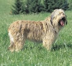 Catalan Sheepdog breed info,Pictures,Characteristics,Hypoallergenic:No Medium Sized Dogs Breeds, Name Pictures, Dog List, Schaefer, Types Of Dogs, Medium Dogs, Dogs Of The World, All Dogs, Spain