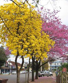 Ipês floridos anunciando o fim do inverno em Porto Alegre