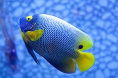 Awesome fish with beautiful colors :)