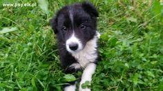 szczeniaki border collie | Sprzedam border collie, szczeniaki border collie na sprzedaż