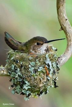 le nid colibri ⊰ by karen crowe hummingbird nest Pretty Birds, Love Birds, Beautiful Birds, Animals Beautiful, Cute Animals, Baby Animals, Wild Animals, Funny Animals, Animals Amazing