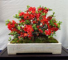 Bonsai japanese red chojubai