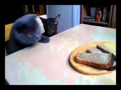 Two Cats Conspiring to Steal Their Human's Bread! - We Love Cats and Kittens-----so cute! Funny Cats, Funny Animals, Cute Animals, Funniest Animals, Funny Animal Pictures, Cat Gif, Cat Memes, Cool Cats, Cat Lady