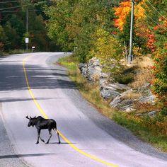 Moose near Bracebridge, Ontario