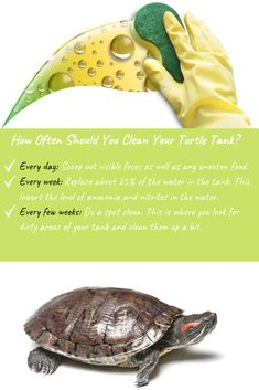 If you own a turtle, you know that they are messy. They can quickly turn your clean tank into a muddy-mess. Here is how often to clean a turtle tank. Red Ear Turtle, Turtle Cage, Turtle Pond, Aquatic Turtle Tank, Turtle Aquarium, Aquatic Turtles, Food Bowl, Pet Turtle Care, Turtle Tank Setup