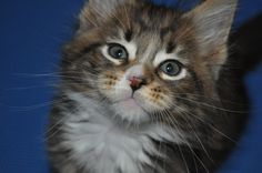 Is this a cute Maine Coon or what?