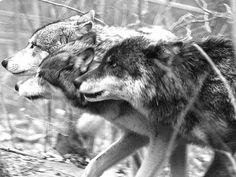 Wolf_Pack.jpg (400×300)