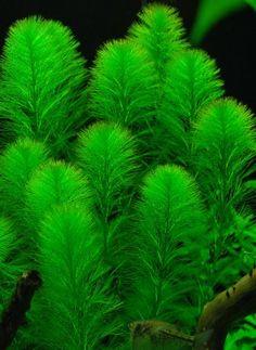 Background Plant   Myriophyllum Aquaticum