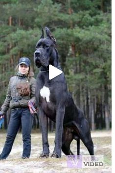 """Acquire terrific suggestions on """"great dane puppies"""". They are actually readily available for you on our internet site. Weimaraner, Dogs And Kids, Big Dogs, Russell Terrier, Funny Animal Videos, Funny Animals, Animal Pics, Funny Cats, Guard Dog Breeds"""