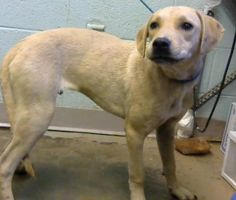 Kylan - URGENT - Dekalb County Animal Shelter in Decatur, Georgia - ADOPT OR FOSTER - 1 year old Neutered Male Lab Retriever Mix
