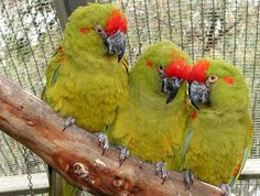 Red-fronted Macaws