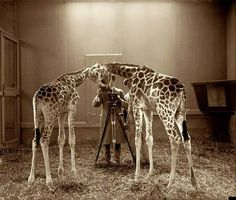 Neck and Neck: 1926 Washington DC Photographing giraffes at the National Zoo. Retro Pictures, Animal Pictures, Retro Pics, Funny Photography, Animal Photography, Wildlife Photography, Vintage Photographs, Vintage Photos, Animals Beautiful