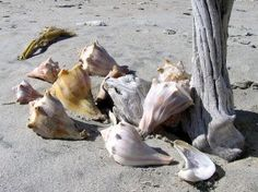 Shell Island is a sandbar island across from Jeremy's inlet, and the best place to find seashells in Edisto Beach. Edisto Beach Sc, Island Beach State Park, Shell Island, South Carolina Vacation, Seabrook Island, Edisto Island, Vacation Spots, Vacation Places, Vacation Destinations