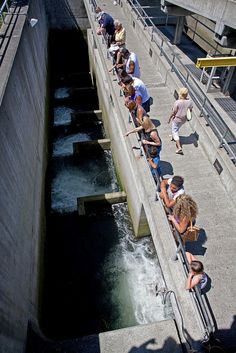 Sockeye salmon at ballard locks fish ladder salmon for Ballard locks fish ladder