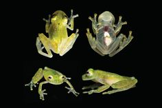 Incredible new Amazon glass frog is so transparent you can see its beating heart