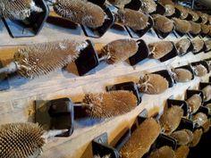 Tambor con cardanchas en el Museo del Batán (León), Spain.  Teasels for knapping.