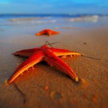 brilliant starfish