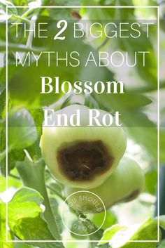 Losing fruit to Blossom End Rot can be heartbreaking. Treating it can be even more frustrating. Find out what works and what doesn't here. via @whippoorwillgar