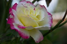Red Tip White With Yellow Rose | 201103190600 Red White Yellow Double Delight rose childrens health ...
