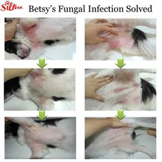A dog skin yeast infection can easily be detected by simply looking at your pet's behavior. Had he or she been scratching like mad for the past few days or had you noticed any black spots or markings in their belly or other parts of the skin which were no Yeast In Dogs, Dog Rash, Ear Infection Home Remedies, Itchy Dog Remedies, Itching Remedies, Yeast Infection Dogs, Fungal Infection Skin, Dog Skin Allergies, Essential Oils Dogs