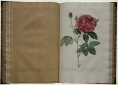 """One of the most popular botanical artist of all time is Pierre Joseph Redouté.   He created three volumes of his his paintings in the books """"Les Roses"""" between 1817 and 1824.  http://rosepetalsfromheaven.blogspot.gr"""