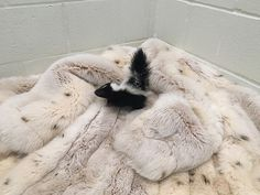 A little baby skunk explores a big fur coat, donated by Born Free USA's Fur for the Animals campaign. PHOTO: The Fund for Animals Wildlife Center
