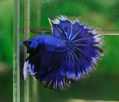 Flickr Beta Fish, Halfmoon Betta, Little Dragon, Colorful Animals, Amazing Nature, Fish Tank, Blue Green, Insects, Birds