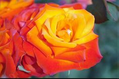 Coat Of Many Colors, Orange Color, Orange Yellow, Pretty Roses, Different Flowers, Mother Nature, House Plants, Rainbow, Colours